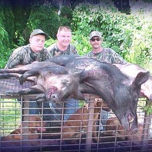 Wild Boar Hunt Report: August 21st, 2005