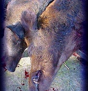 Wild Boar Hunt Report: November 3rd, 2001
